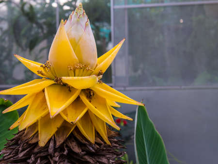 ornamental plant: Yellow lotus-shaped banana blossom is ornamental plant, not for eat.  Its scientific name is Musella splendida R.V.Valmayor & L.D.Danh and in MUSACEAE family. Stock Photo