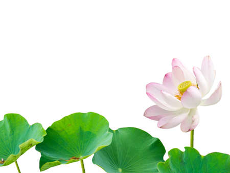 Pink lotus flower and leaves isolated on blue gradient background