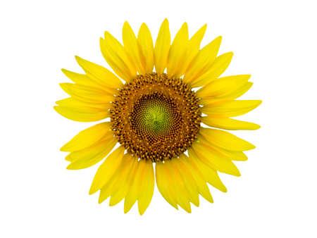 Sunflower field. Close up blooming sunflower. Stock Photo
