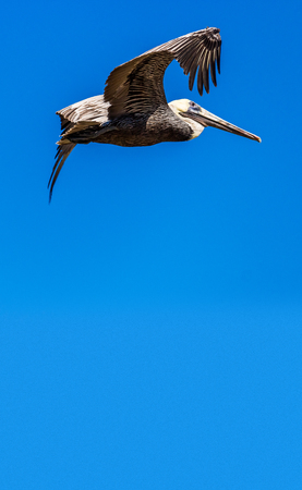 A pelican enjoying a fly with blue sky background Stock Photo