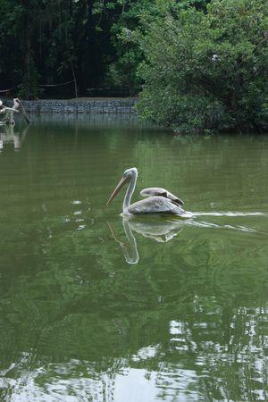 waterbird: Water-bird swimming