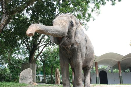 attention grabbing: Elephant in a zoo stretching nose