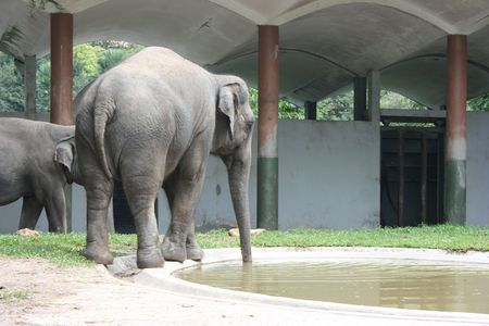 Elephant in a zoo drinking water
