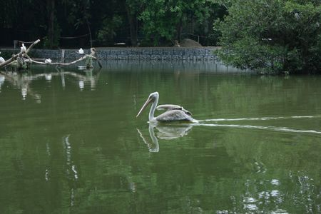 waterbird: Water-bird swimming, another species of water-birds at the background