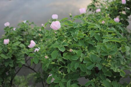 A branch of wild rose hips with delicate pink flowers on the background of river water with clouds reflections. Natural flowers background. Spring day. Cold colors Standard-Bild