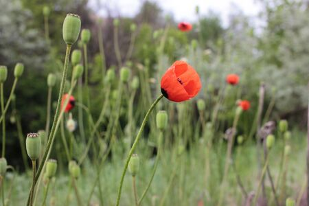 Summer landscape with wild red poppy flowers on the meadow. Natural blurred background