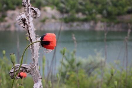 Summer landscape with wild red poppy flowers over the river. Natural blurred background