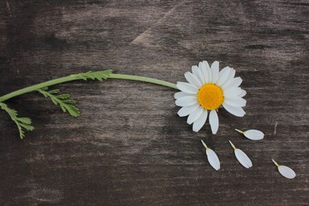 Divination on chamomile. Single daisy with torn off petals on wooden background with copy space. Banco de Imagens