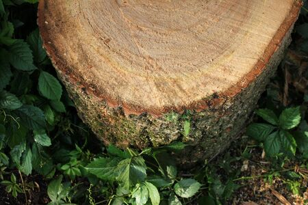 Freshly cut poplar tree with annual rings. Close-up of round logs on blurred nature background. The texture of a fresh sawn wood with growth rings