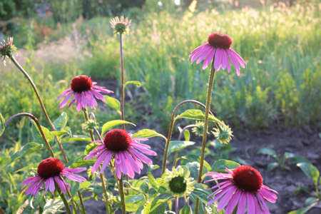 Pink echinacea flowers against the evening sun in the summer garden. Medicinal plant