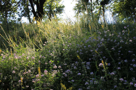 Summer landscape with trees and white coronilla varia wild flowers in the meadow. Selective focus