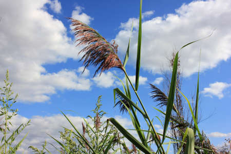 Close-up of reed in the wind against blue cloudy sky. Summer landscape Stock Photo