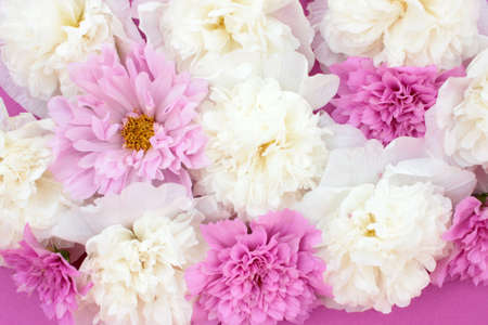 Pink terry cosmos and white mallow flowers on colored purple backdrop. Natural floral background.