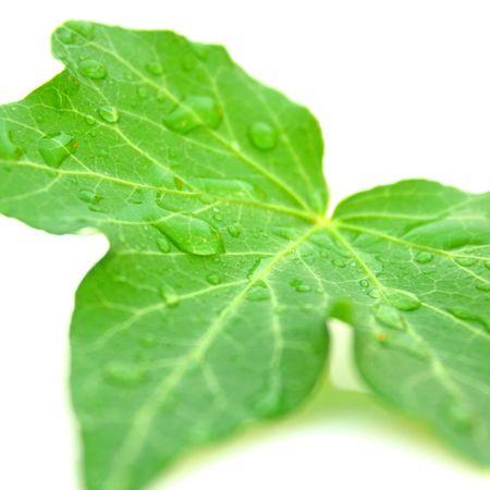 Ivy photo