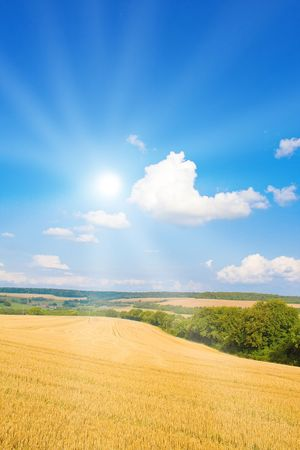 Golden field with sunlight photo