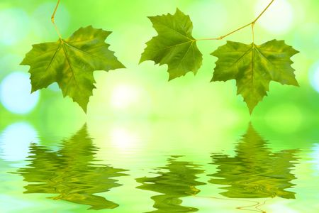 Beautiful green leaves in spring with reflection Stock Photo