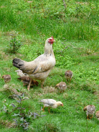 aon: mother chicken aon chail Stock Photo