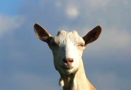 s horn: Goat home - portrait Stock Photo