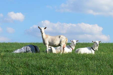 herdsman: Male goats waist