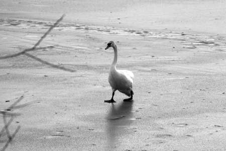 Swan is the frozen lake photo
