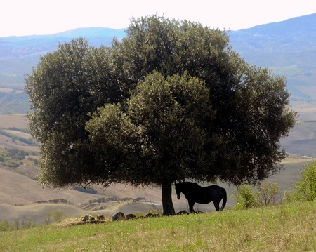 A beautiful horse rests in the shade in Tuscany, Stock Photo - 13384965