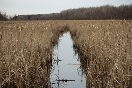 Bulrush plants in a tranquil marsh conservation area.