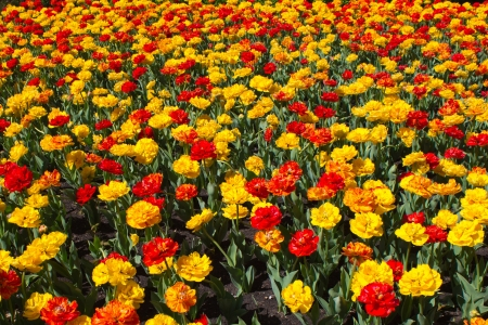 Field of colorful tulips in bloom photo
