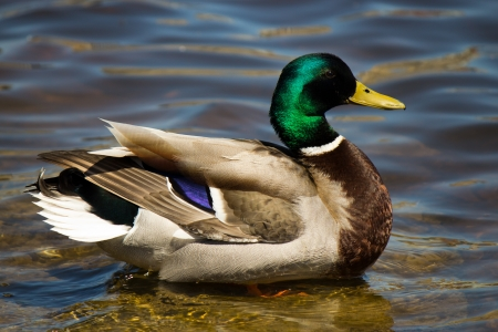 Colorful male Mallard duck swimming  Stock Photo