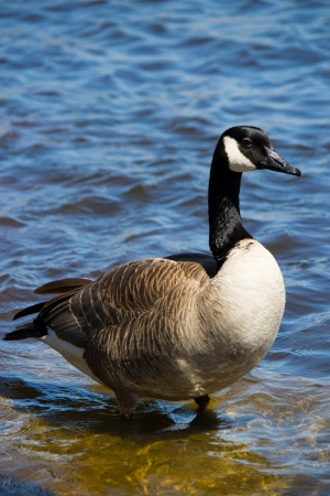 Canadian goose on the shore Stock Photo - 13899405