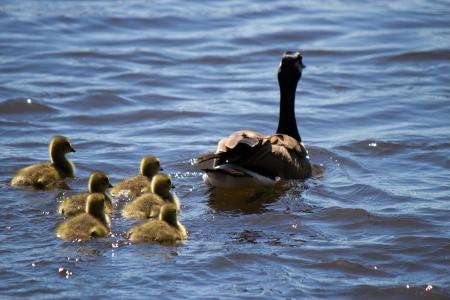 Kanadische Gans Schwimmen mit thier goslings Lizenzfreie Bilder