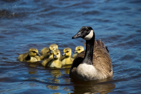 Canadian goose swimming with thier goslings  photo