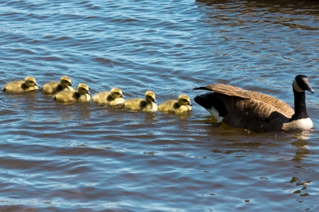 Canadian goose swimming with thier goslings