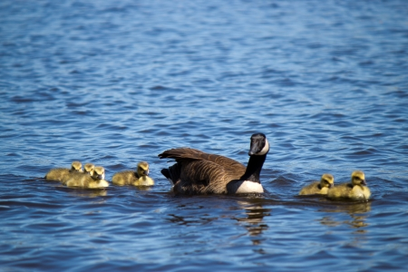 thier: Canadian goose swimming with thier goslings