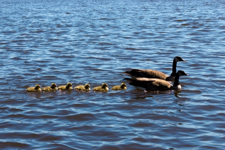 Canadian goose and gander swimming with thier goslings  Stock Photo
