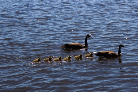 thier: Canadian goose and gander swimming with thier goslings  Stock Photo