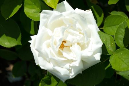 karl: Frau Karl Druschki rose in bloom in the garden
