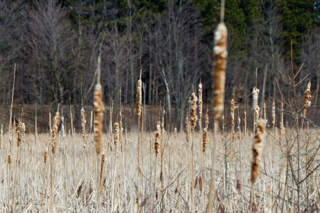Bulrush plants in a marsh Stock Photo