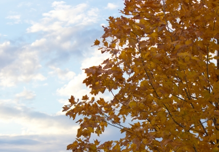 Beautiful tree with yellow autumn leaves with a blue sky background Stock Photo - 16953528