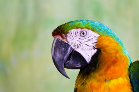 psittacidae: Macaw Parrot