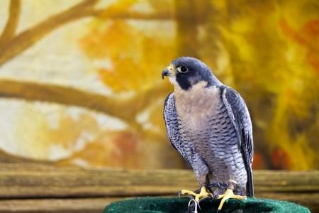 falconidae: Peregrine Falcon bird of prey