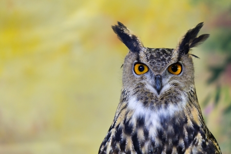 spotted: Spotted Eagle-Owl Stock Photo