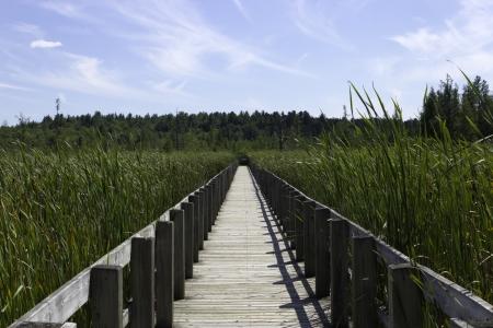bullrush: Boardwalk over the marsh