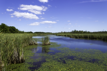 bullrush: Beautiful pond with lily pads and cattails
