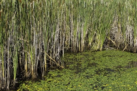bullrush: Lilypads and cattails in the bog