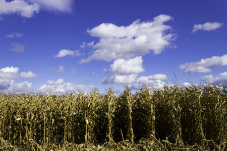 Corn field during harvest photo