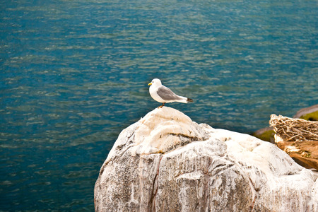 sea gull: Sea gull bird resting on a large rock on the shore