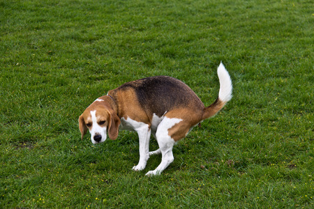 pooping: Dog defecating on the green grass Stock Photo