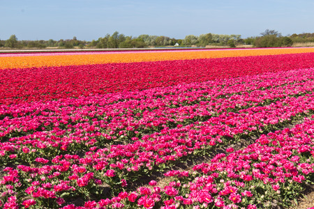 Rows of tulips flowers on a farm in the Netherlands Stock Photo