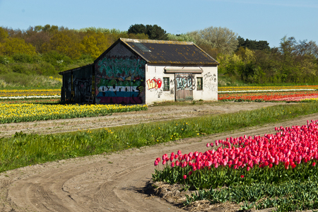 the netherlands: Tulip farm in the Netherlands