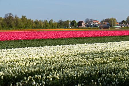 Reihe der Tulpen Blumen auf einem Bauernhof in den Niederlanden